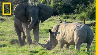 Face-off: Playful Elephant vs. Tense Rhino | National Geographic