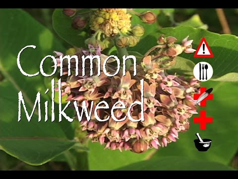 Video Common Milkweed: Edible, Medicinal, Cautions & Other Uses