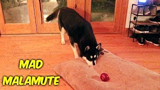 Malamute Argues With New Dog Toy