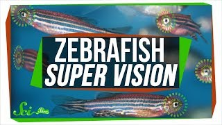 Baby Zebrafish Eyes Work Kind of like Real-Time Photoshop - Video Youtube