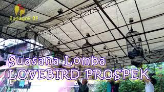 Terapi Simulasi Lomba Lovebird Kelas Prospek Untuk Mengetes Mental Calon Juara