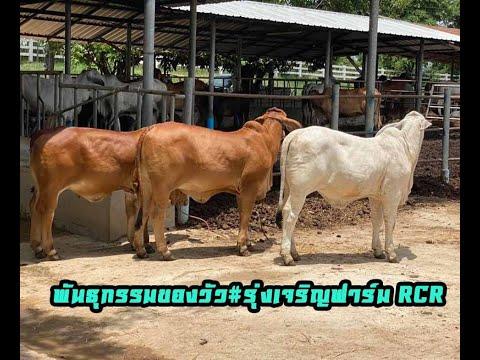 พันธุกรรมของวัว#รุ่งเจริญฟาร์ม RCR