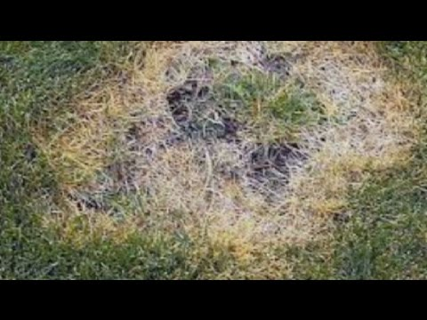 Video In the Garden tackles lawn diseases