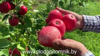 Кто клевал золотые яблоки в царском саду