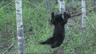 Black Bear Attempts Walking Across a Rope For A Bite Of This Tasty Beaver Treat