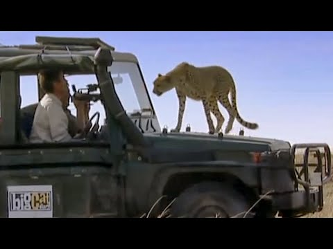 Cute Lion Cub, And Cheetahs Jump On To Truck! | Little Big Cat | BBC