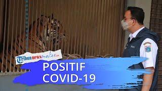 Dua Harimau Sumatra Taman Margasatwa Ragunan Positif Covid-19, Anies: Tak Ada PIlihan, Harus Isolasi