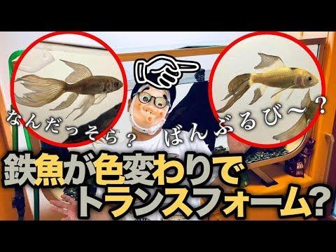 鉄魚が色変わりでトランスフォーム?