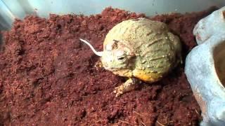 Pixie Frog Feeding