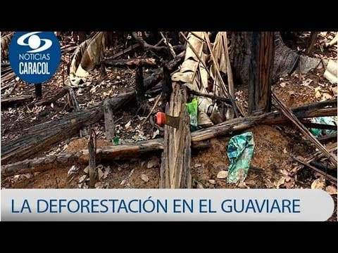 """La guerrilla les ponia un limite"": denuncian tala indiscriminada tras desmovilizacion de las FAR..."