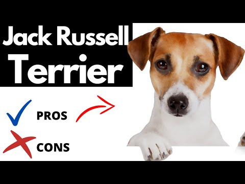 Jack Russell Terrier Pros And Cons | The Good AND The Bad!!