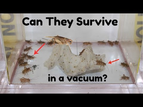 what happens when you put crickets in a vacuum chamber| will they died?