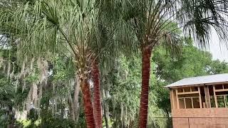 Ribbon Palm/Triple Trunk/Final Video