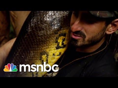 Eaten Alive: Anaconda Swallows Paul Rosolie | msnbc