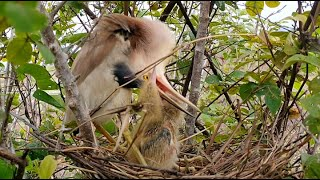 Mother Nearly dies Because Of Food for feeding Babies While her busy Repare The Nest