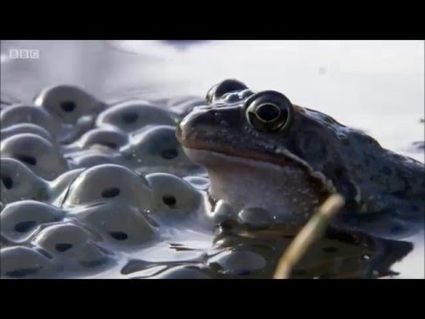 Common Frogs On Springwatch (2016) Mp3