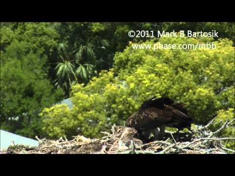 Osprey   Life inside the nest   Sibling rivalry, cainism and cannibalism