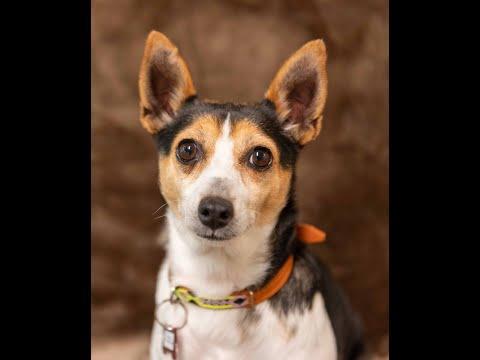 Nina, an adopted Rat Terrier Mix in Friday Harbor, WA