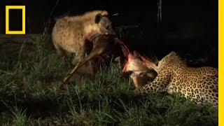 Leopard - Confronting Hyenas