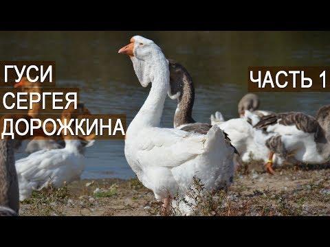 , title : 'Холмогорские гуси это не бизнес! Сергей Дорожкин. Часть1