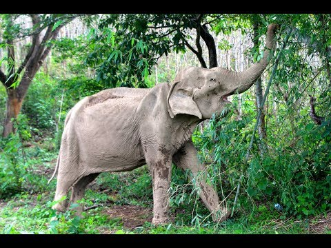 Elderly Elephant Honored After She Dies From A Life Of Giving Rides