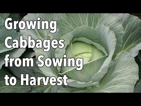 , title : 'Growing Cabbages from Sowing to Harvest