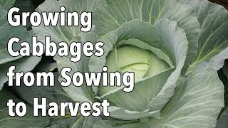 Growing Cabbages from Sowing to Harvest