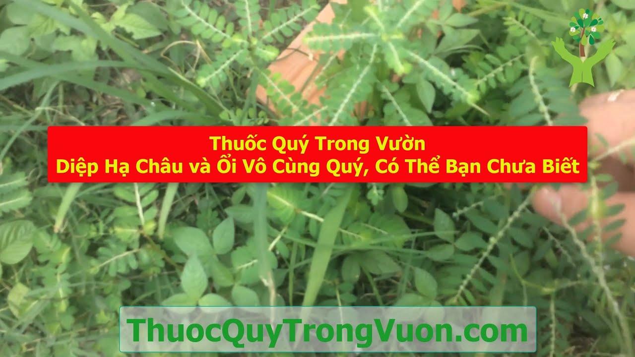 Thuốc Quý Trong Vườn: Diệp Hạ Châu và Ổi Vô Cùng Quý, Có Thể Bạn Chưa Biết