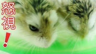 我的一個動作就把倉鼠激怒了 (-_-) 牠還突然使出特技! Angry Hamsters