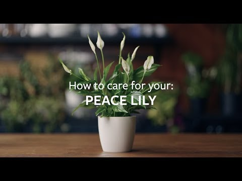 , title : 'How to care for your Peace Lily | Grow at Home | RHS