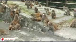 Hai bầy khỉ đánh nhau ác liệt - War of monkeys