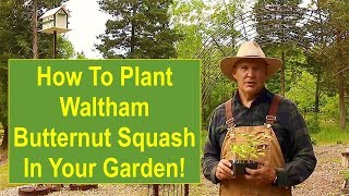 Keep Calm And Learn How To Plant Waltham Butternut Squash In Your Garden!