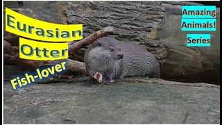 Eurasian Otter   European Otter   Eurasian River Otter   Common Otter   Amazing Animals