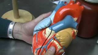 Heart Anatomy Part 1
