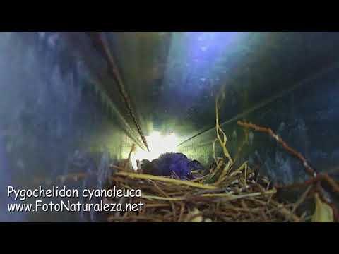 Pygochelidon cyanoleuca