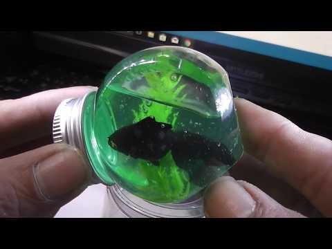 「ガチャ」金魚マイボトル スライミ~2「青文魚」