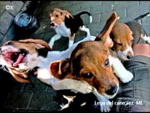 I beagle di Green Hill sono arrivati a Segrate