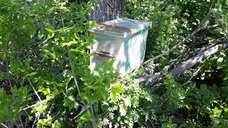 Ловля пчел ловушками в красноярском крае