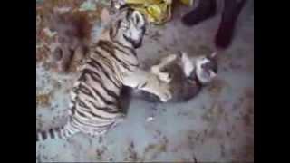 Тигр VS Кошка