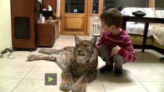 From fur hat to house pet: Lynx lives in Moscow apt after being saved from slaughterhouse
