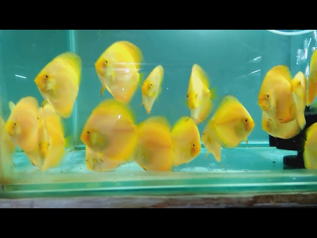 "Solid Yellow - Yellow Diamond Discus Fish 3"""