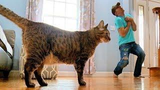 Смотреть онлайн Что сделает ваш кот, если вы притворитесь мертвым