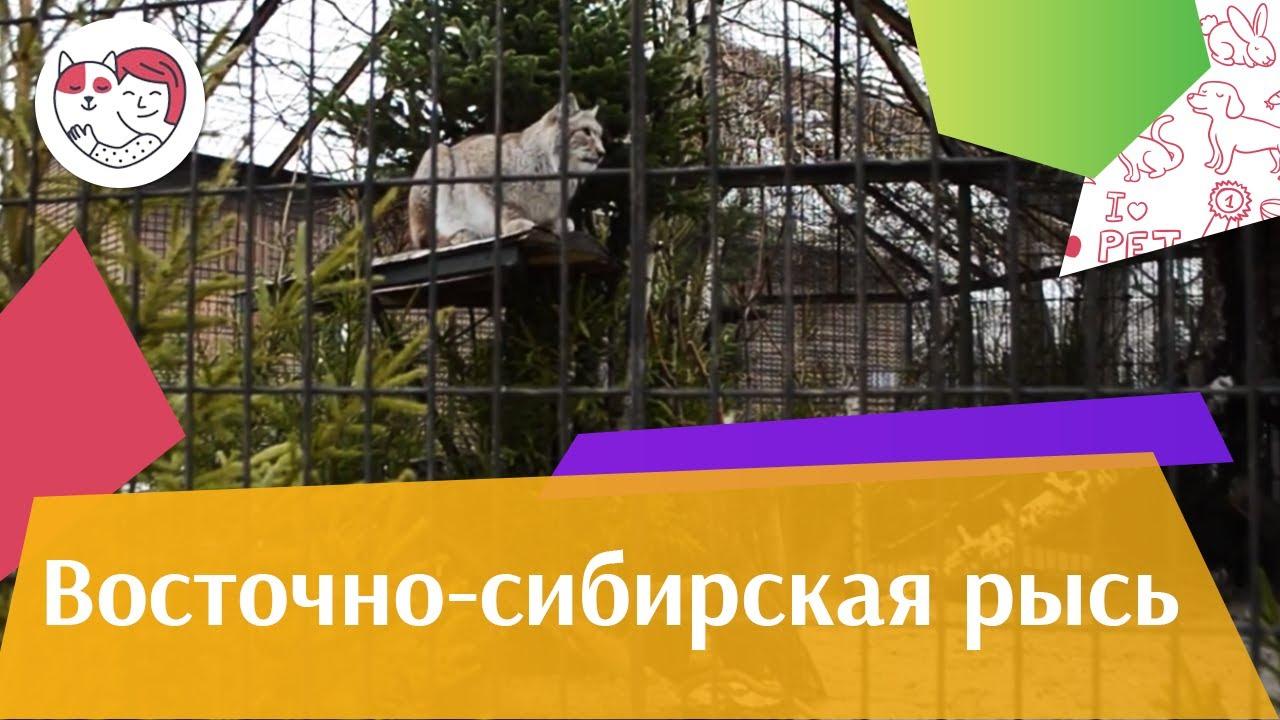 Восточно сибирская рысь Поведение на ilikepet