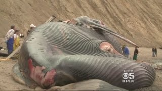 Scientists Perform Tests On Blue Whale Washed Ashore In Bolinas