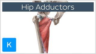 Anatomy of the Hip Adductor Muscles - Human Anatomy  Kenhub