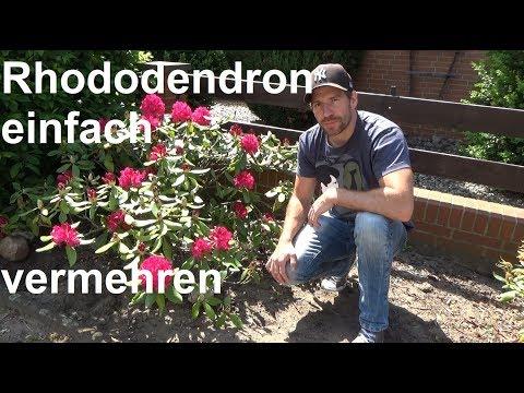 Rhododendron durch Ableger vermehren Steckling Absenker Samen