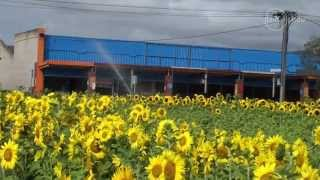 preview picture of video 'Vacant town block now a stunning sea of sunflowers by Fairfax Media'