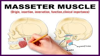 Masseter Muscle : Origin, Insertion, Nerve supply, Clinical importance - Anatomy
