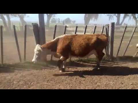 Afiche 34 Vacas de Invernada  - Artigas