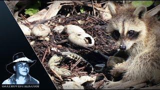 Raccoons Kits Eat Alligator Eggs 02